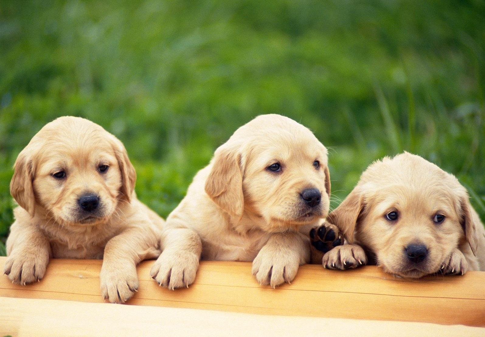 Gambar Wallpaper Keren: Koleksi Gambar Anjing dan Anak Anjing Lucu