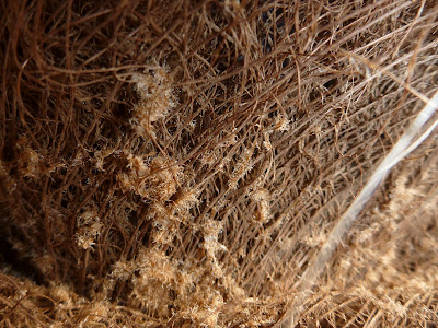 Trachycarpus fortunei Stem-Trunk Fiber