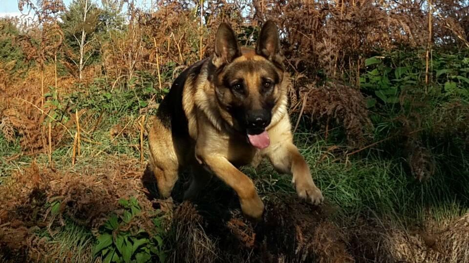 chien facile a dresser - chien de garde