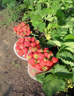ягода - клубника