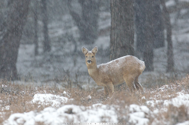 Reeën in sneeuwbui - Roe Deer in Snow