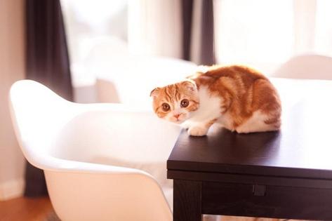 Tulip Merah Kucing Scottish Fold Yang Comel