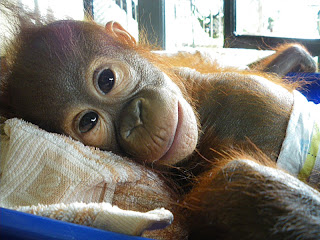 Baby orangutan Rahayu is improving