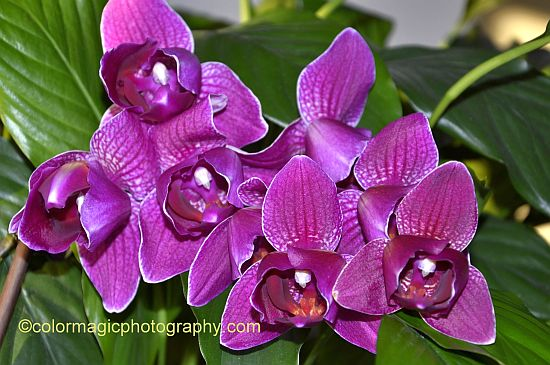 Purple orchid with velvety petals