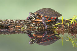 Midland Painted Turtle photo claims 5th Annual Ohio Legacy Stamp prize