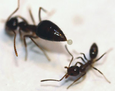 Keganasan Semut Argentina Mendapat Tandingannya