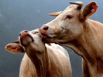 cows kiss love picture animals