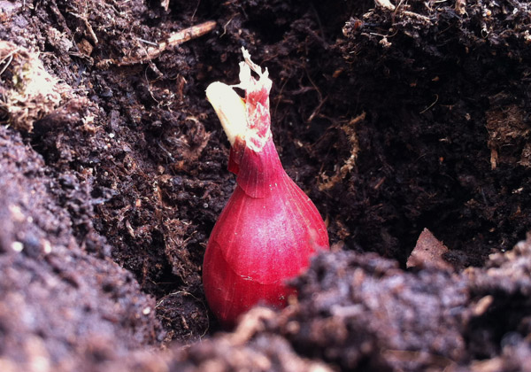 Rödlök som ligger i jord