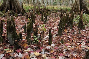 Cypress Knees in the Fall