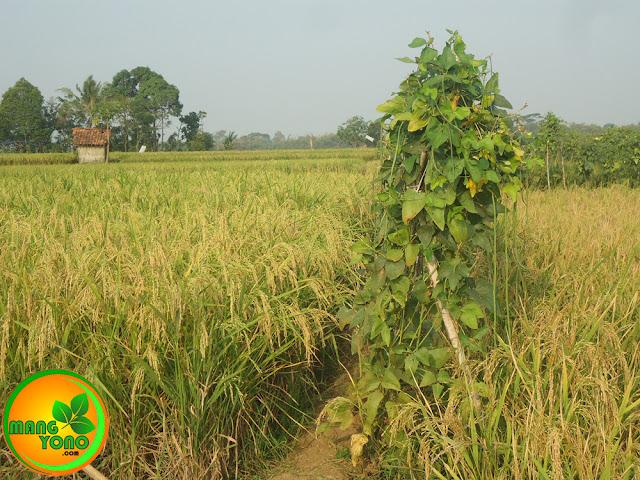 FOTO : Tanaman kacang panjang di pematang sawah