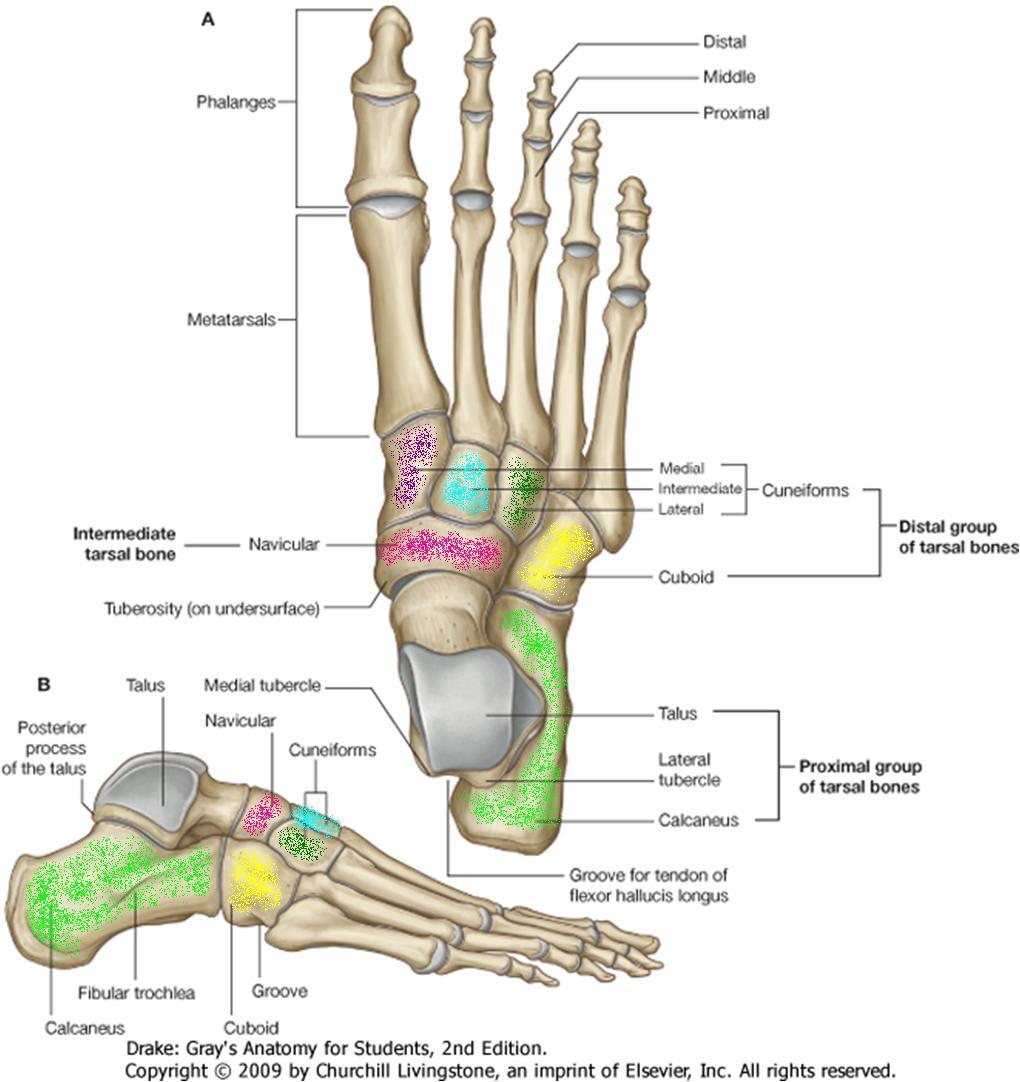Los+huesos+del+pie+y+sus+partes
