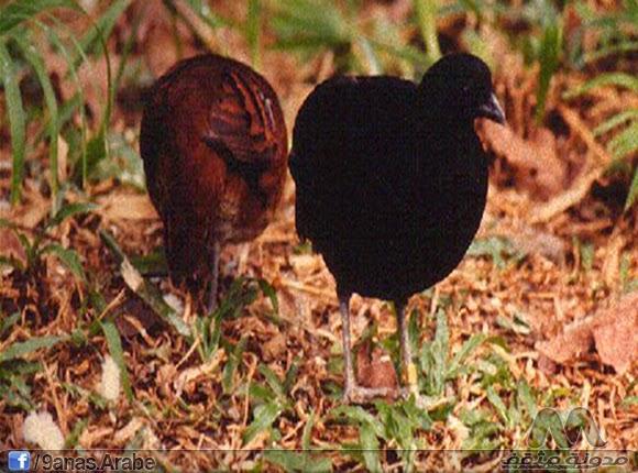 وهو نوع نادر جدا ويسمى أيضا بالحجل الخشب الأسود يوجد هدا النوع  في بروناي وسومطرة وماليزيا ويتميز بحجمه الصغير يصل إلى 27 سنتيمتر وتضع الانثى عادة مابين  5 حتى 6 بيضات