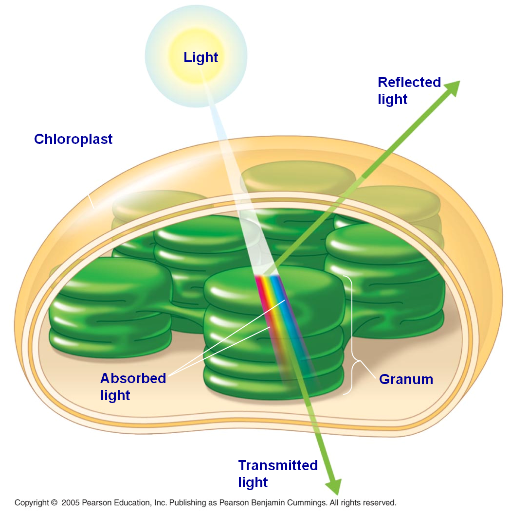 photosynthetic pigments In plants, algae, and cyanobacteria, pigments are the means by which the energy  of sunlight is captured for photosynthesis however, since each pigment reacts.