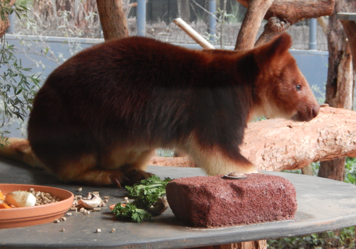 while i was in australia i was delighted to meet the golden mantled tree kangaroo face to face it is very similar in color to goodfellows tree kangaroo