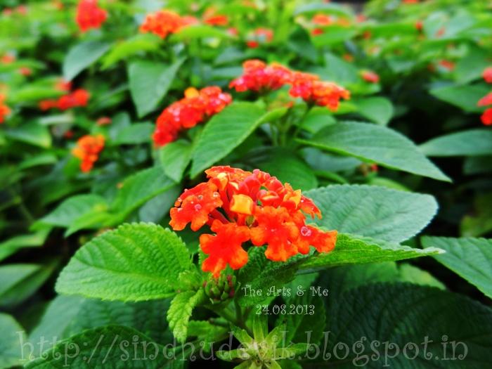 Orange and reddish orange lantana flower clusters