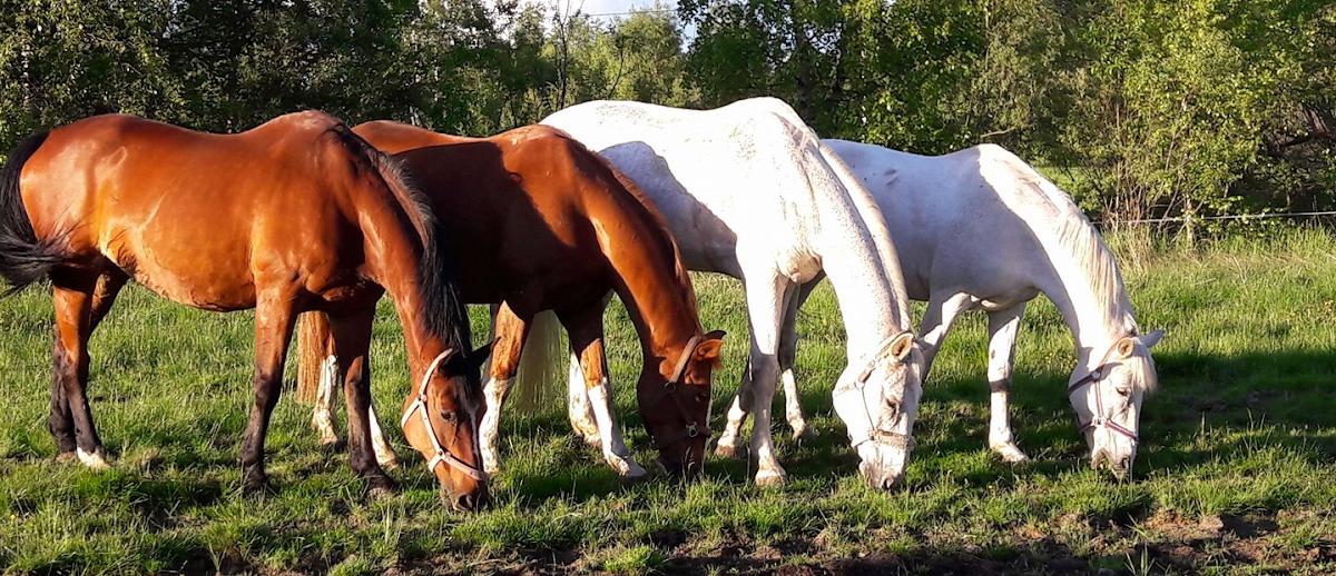 Opetushevosten ja -ponien esittelyblogi