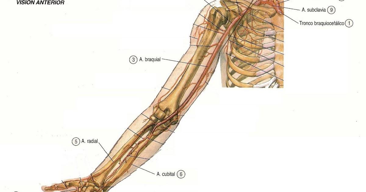 Anatomia y mas: Ruta circulatoria Miembros Superiores (version ...