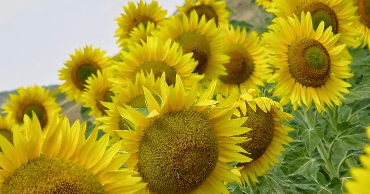 Jardineria eladio nonay un campo de girasoles jardiner a - Jardineria eladio nonay ...