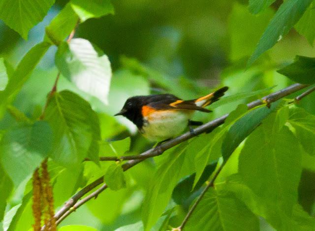 American Redstart - Prospect Park, New York