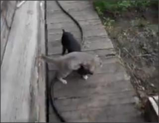 Lucu Lawak Pandai Anjing Kucing Dukung Angkat