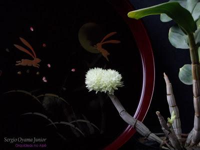 Orquídea Dendrobium purpureum album