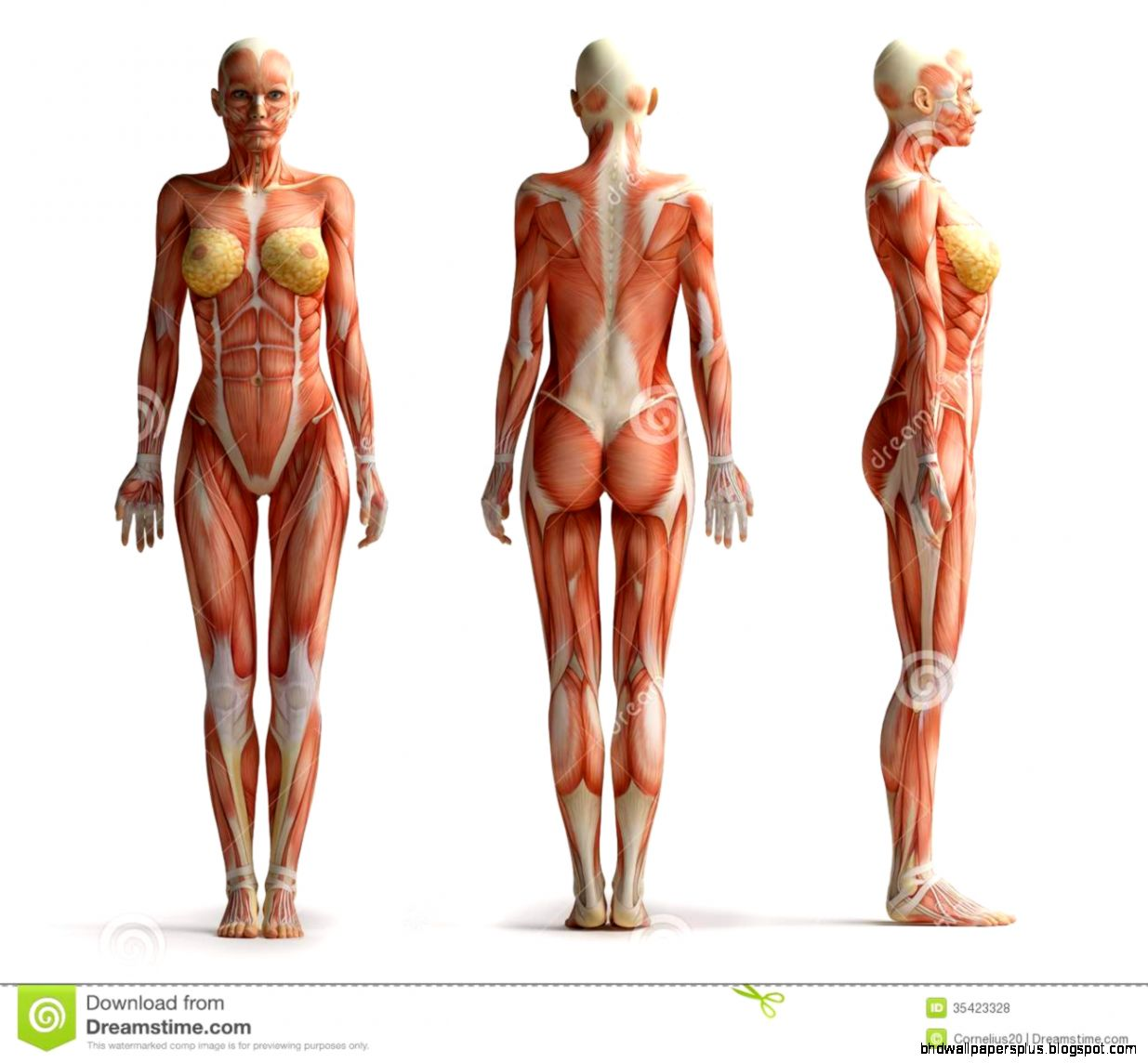 Woman Anatomy | HD Wallpapers Plus