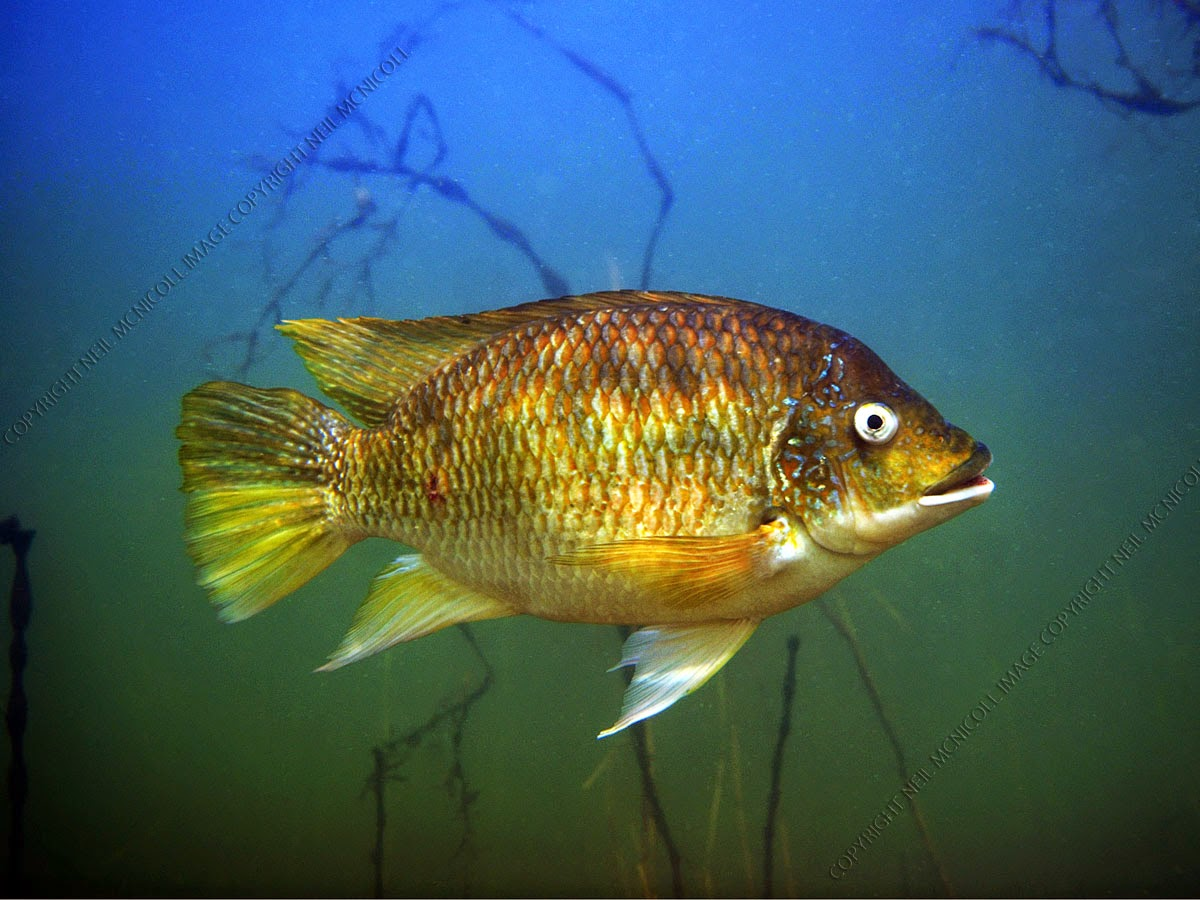 Freshwater fish photographs tilapia for What is tilapia fish
