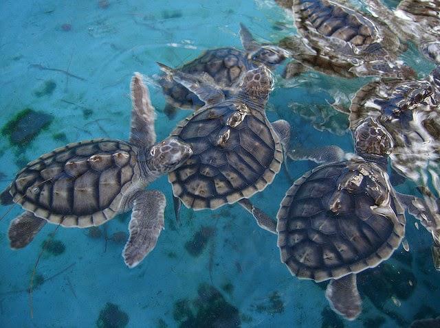 penangkaran kura-kura, kura-kura di gili meno, tempat pemeliharaan kura-kura, gili meno lombok, wisata ke pulau lombok, wisata lombok