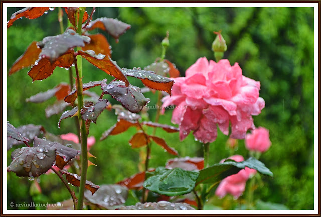 Rose Plant, Wet Plant, Rain Drops, Drops Effect, Pink Rose, Pink Rose Plant