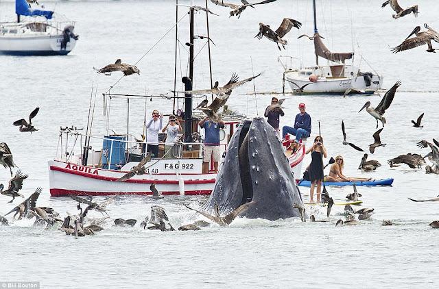 humpback-whale-feeding