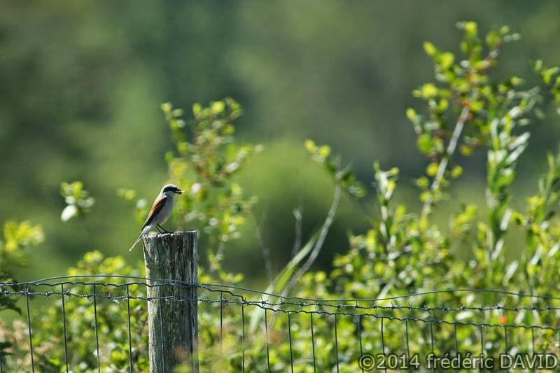 nature animaux oiseaux pie grièche écorcheur marais Seine-et-Marne