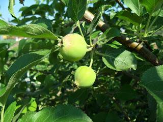 Молодые яблочки