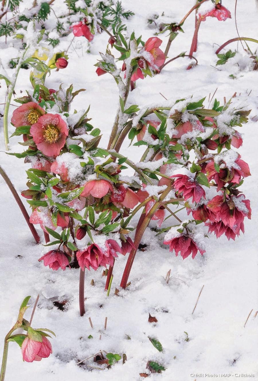 fleurs d 39 hiver pour jardin images. Black Bedroom Furniture Sets. Home Design Ideas