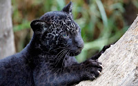 Black Panther Picture and Photo 22