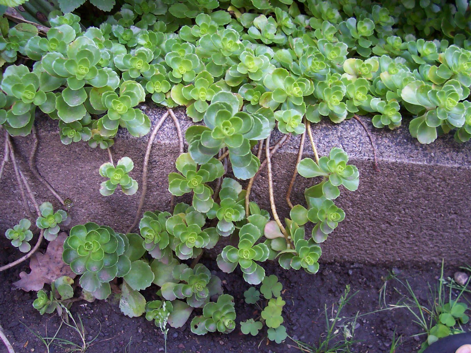 PflanzenResort TeppichFetthenne (Sedum spurium album)