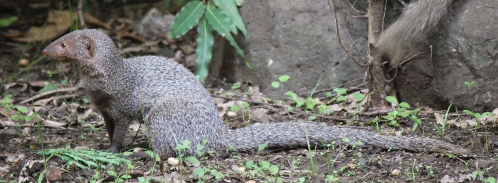 Mongoose at Katraj Zoo
