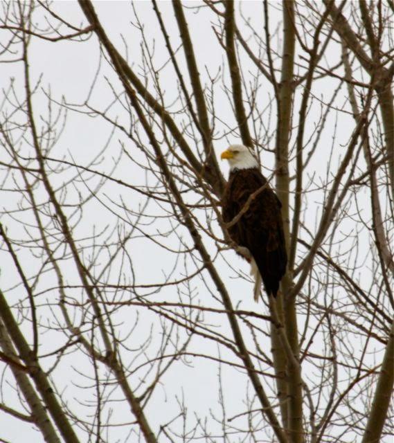 Bald eagle in poplars