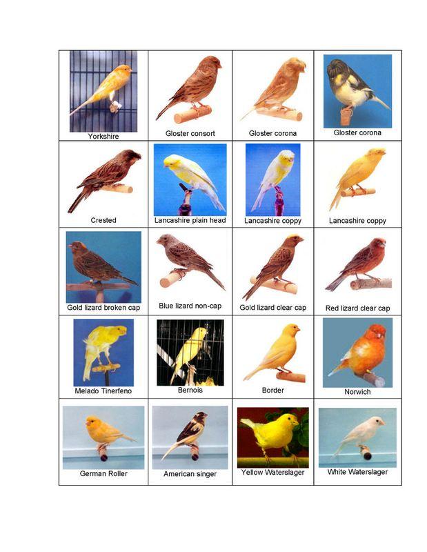 jenis-burung-kenari-4-burungkita jpgJenis Burung Kenari