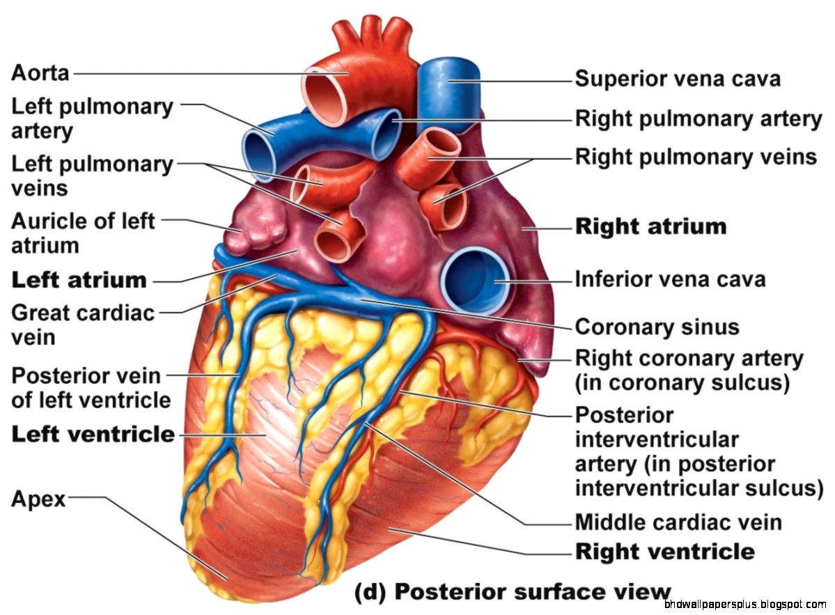 Heart Anatomy chambers valves and vessels  Anatomy amp Physiology