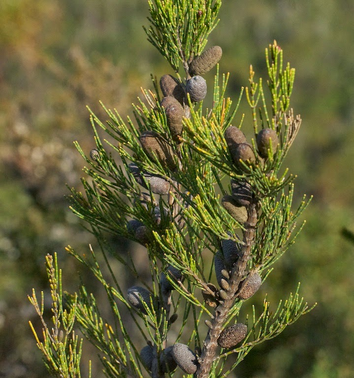 Allocasuarina sp