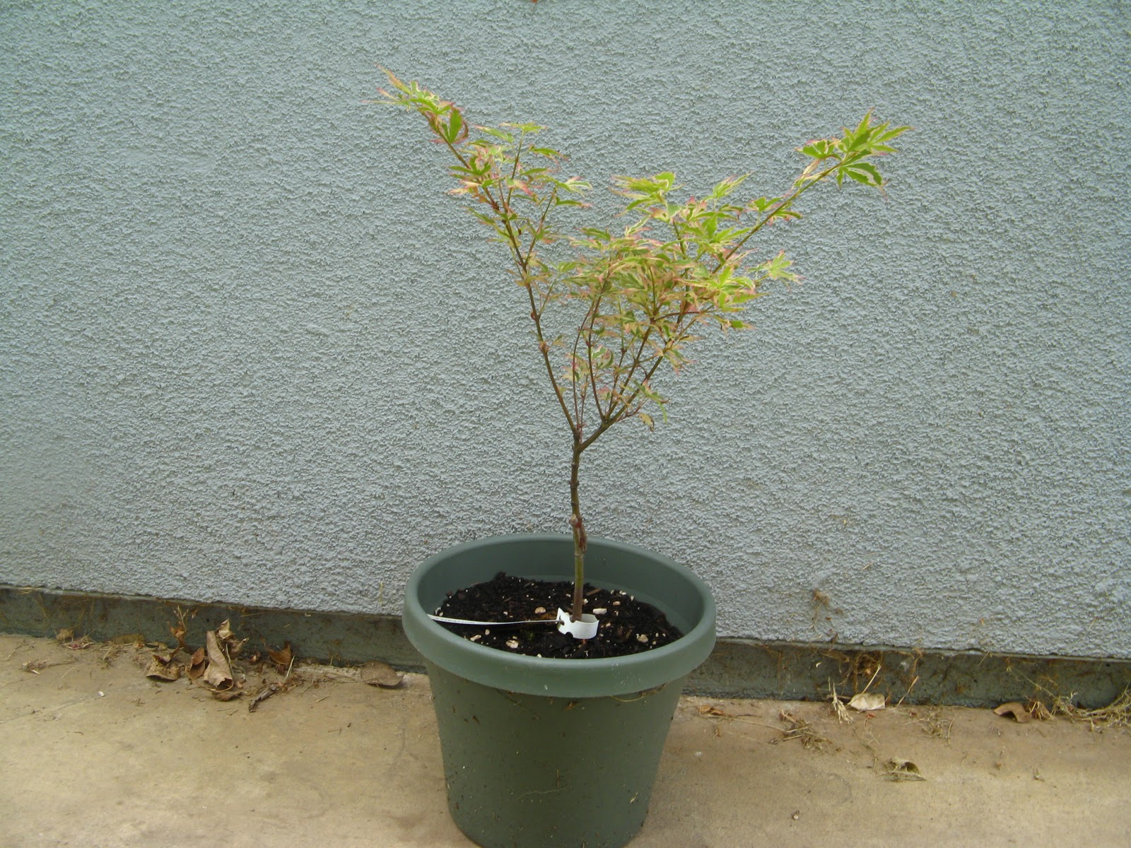 Me So Thorny Potting Up Japanese Maples