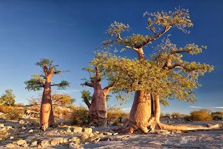 Kubu Island: A Desert Island of Baobabs and Ancient Fossils.
