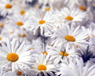 margaritas Fotos de flores blancas