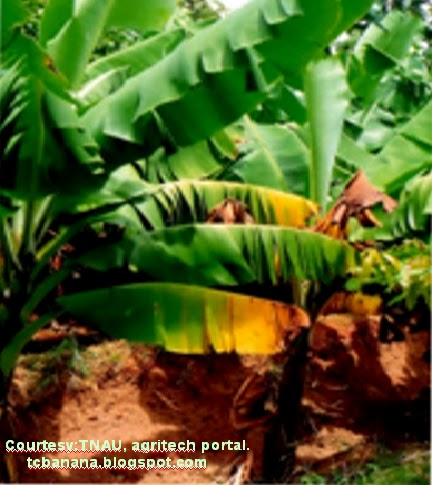how to make banana tissue culture