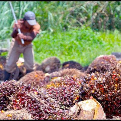 waktu penuaian kelapa sawit