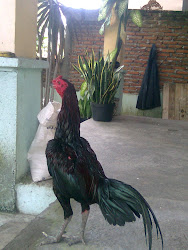 Ayam Vietnam