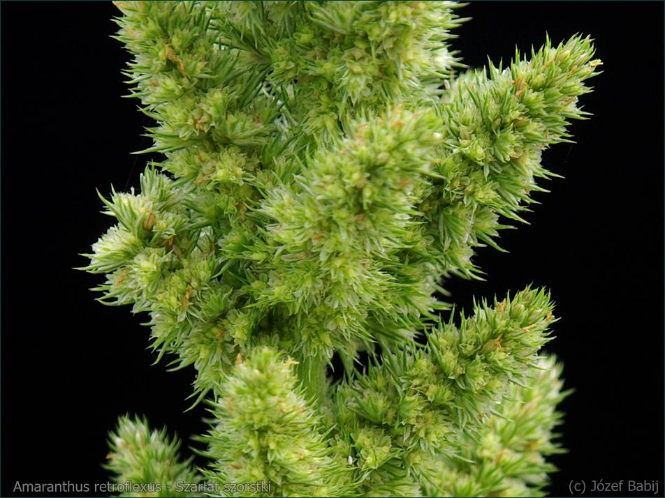 Amaranthus retroflexus - Szarłat szorstki kwiaty