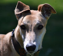 Southeastern Greyhound Adoption