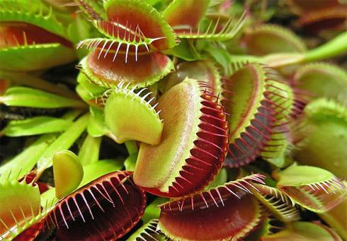 Plantas carnívoras (02)