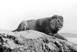 Foto Singa Barbary (Panthera Leo leo)